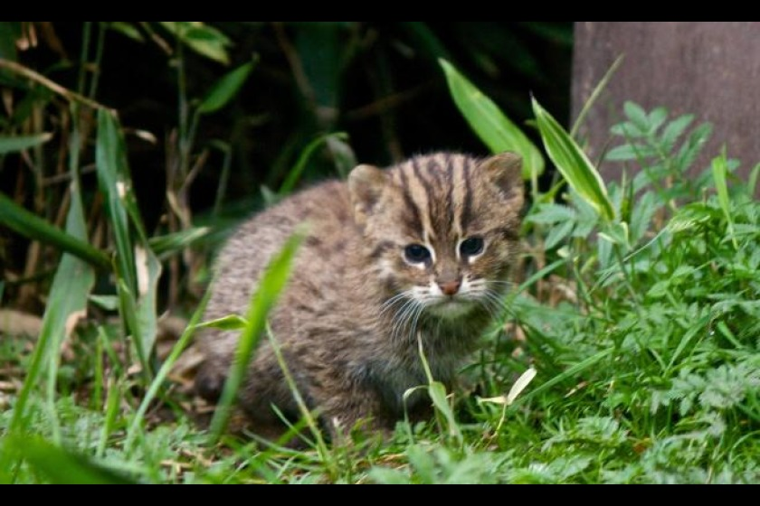 This baby Fishing Cat has been born at the wildlife park