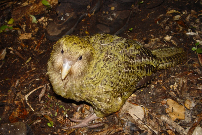 The kakapo is the most endangered parrot in the world