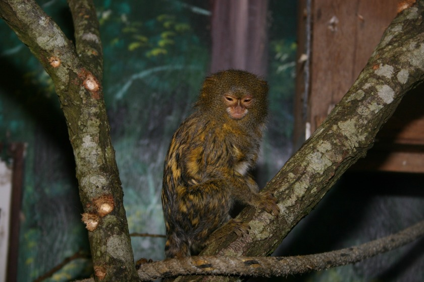 One of the Pygmy Marmosets at the wildlife park