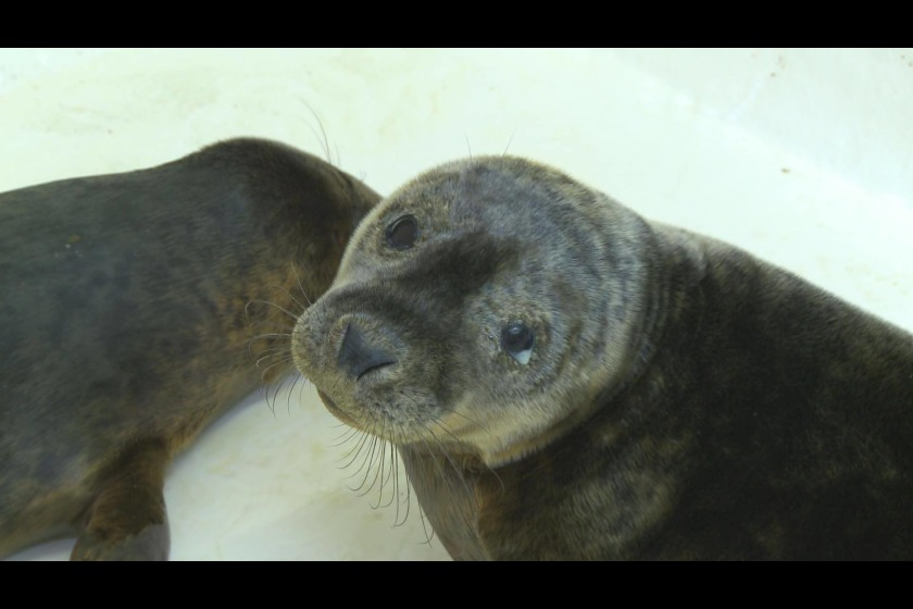 One of the seals being cared for